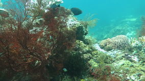 Thriving coral reef alive with marine life and shoals of fish, Bali stock video footage