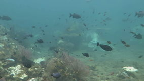 Thriving coral reef alive with marine life and shoals of fish, Bali stock footage