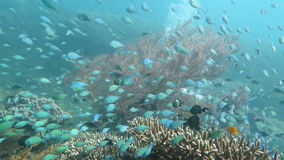Thriving coral reef alive with marine life and shoals of fish, Bali stock video