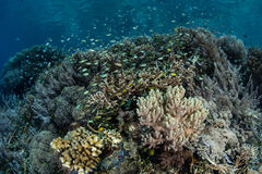 Thriving Coral Reef in Raja Ampat Stock Photo