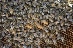 Thriving Honey Bee Colony Royalty Free Stock Photos