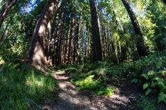 Thriving Redwood Forest in Northern California Royalty Free Stock Images