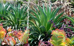 Thriving Succulents. A group of thriving succulents in a Southern California garden royalty free stock image