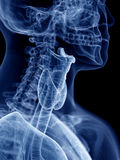 The throat anatomy. 3d rendered, medically accurate illustration of the throat anatomy Stock Photo