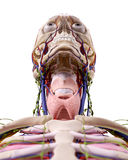 The throat anatomy Royalty Free Stock Image