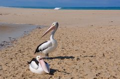 Throat Pouch Display: Pelicans on Sand, Indian Ocean stock image