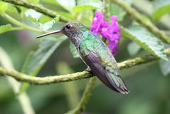 throated blänka hummingbird för smaragd Arkivbild