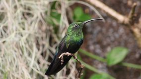 Throated Carib Hummingbird zbiory