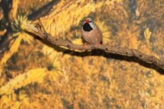 Throated finch fotografia stock