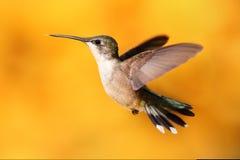 throated flyghummingbirdruby Arkivbilder