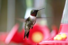 throated hummingbird полета мыжское рубиновое Стоковая Фотография RF