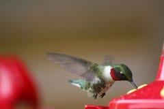 throated hummingbird фидера мыжское рубиновое Стоковые Изображения RF