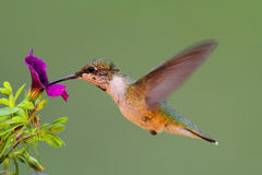 throated hummingbird ювенильное рубиновое Стоковые Фото