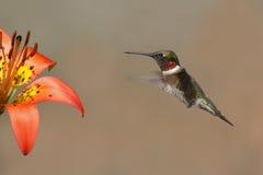 Throated Hummingbird Unosi się Obok Drewnianej lelui obraz stock