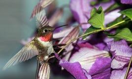 throated hummingbirdruby Arkivfoto