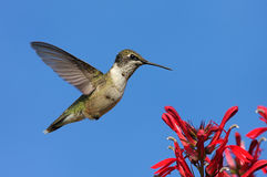 throated hummingbirdruby Royaltyfri Bild