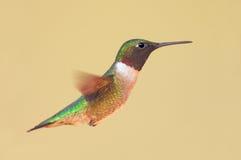 throated hummingbirdruby Fotografering för Bildbyråer