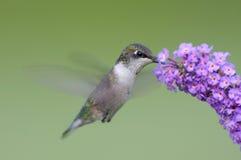 throated hummingbirdruby Arkivbild