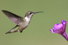 throated hummingbirdruby Arkivbild