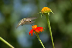 throated hummingbirdruby Arkivfoto