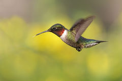 throated hummingbirdruby Arkivbilder