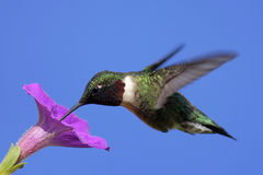 throated male ruby för hummingbird Royaltyfria Bilder
