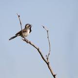 throated sparrow för amphispizabilineatablack Fotografering för Bildbyråer