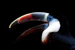 throated toucan white Royaltyfri Bild