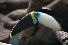 throated toucan white arkivbild
