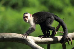 throated white för capuchin Arkivbild