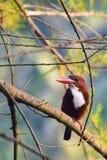 throated white för kingfisher royaltyfri bild