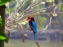 throated white för kingfisher Royaltyfria Bilder