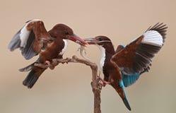 throated white för kingfisher Fotografering för Bildbyråer
