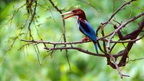throated white för kingfisher Arkivbilder