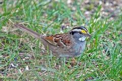 throated white för sparrow Royaltyfria Bilder