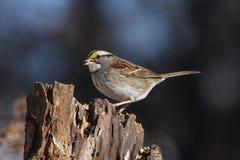 throated white för sparrow Royaltyfri Fotografi