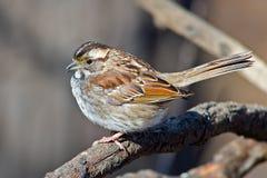 throated white för sparrow Arkivfoton