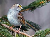 throated white för sparrow Royaltyfri Foto