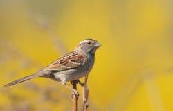 throated white för sparrow Royaltyfri Bild