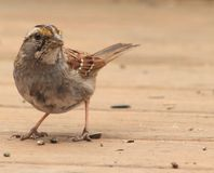 throated white för sparrow Fotografering för Bildbyråer