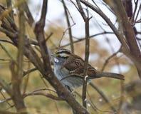 throated white för sparrow ii Arkivbild