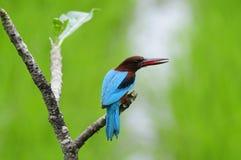throated white för kingfisher royaltyfri foto