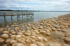 Thrombolites of Lake Clifton. Living Fossils: The Thrombolites of Lake Clifton, Australia royalty free stock image