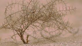 Throrn del camello en el clouseup del desierto metrajes