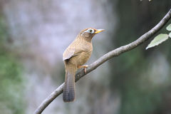 Throstle. A babbling thrush stands on tree branch. Scientific name: Garrulax canorus. Shooting in southern slope of Qinling mountain, China Stock Image