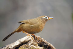 Throstle. A babbling thrush stands on tree stool. Scientific name: Garrulax canorus. Shooting in southern slope of Qinling mountain, China Royalty Free Stock Photography