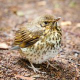 Throstle fledgling, song thrush on ground. Throstle fledgling, song thrush on forest ground stock photo
