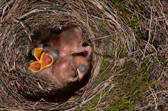 Throttle bird chicks in nest. Chicks in the throttle bird nest Royalty Free Stock Photos
