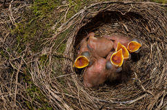 Throttle bird chicks in nest. Chicks in the throttle bird nest Stock Photo