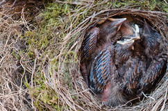 Throttle bird chicks in nest Stock Images